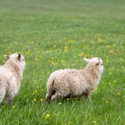 Schafe - Lamm