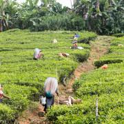 Hochland - Sri Lanka - Teepflückerinnen