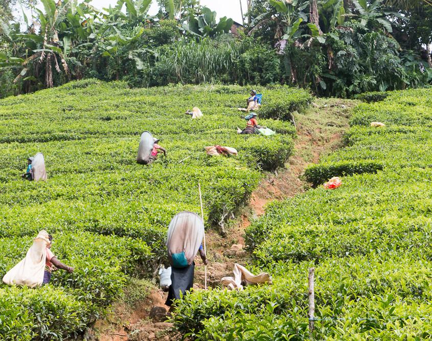 tea picking - Teepflückerinnen - Hochland -