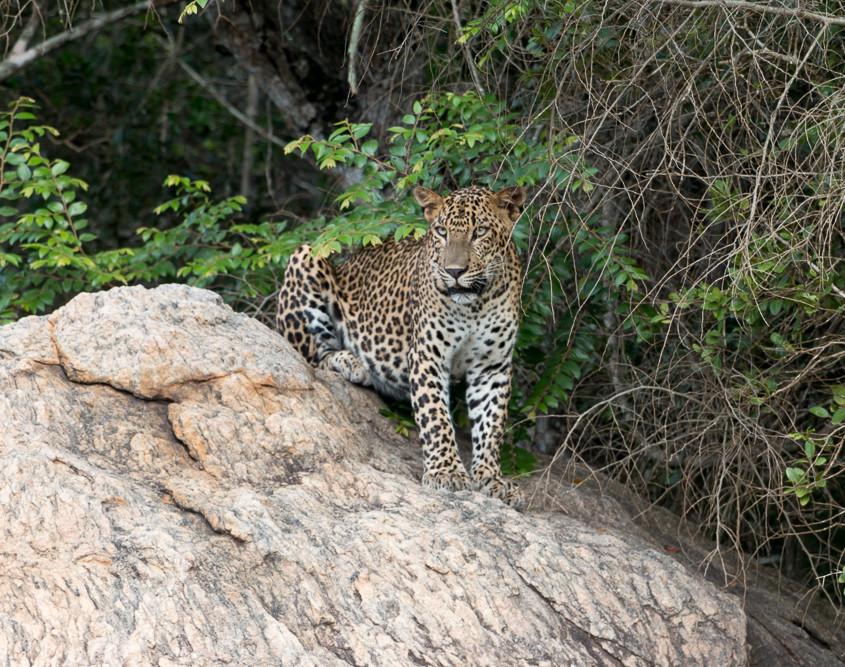 Sri Lanka - Yale - Wildlife - Tissamaharama