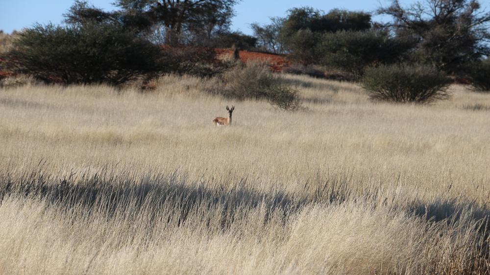 Auf der Bagatelle Kalahari Game Lodge gibt es viele Springböcke die in der Nähe des Campgrounds grasen.