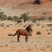 Pferd-Zebra Mischung auf der Gambit Desert Lodge