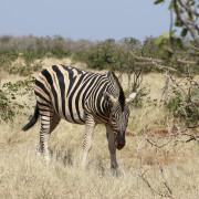 Zebra am Ratteldraf Wasserloch - Etoscha Nationalpark