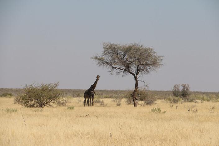 Giraffe in der Nähe vom Ratteldraf Wasserloch