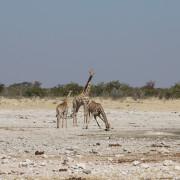 Giraffen am Klippen Wasserloch - Etoscha Nationalpark Namibia