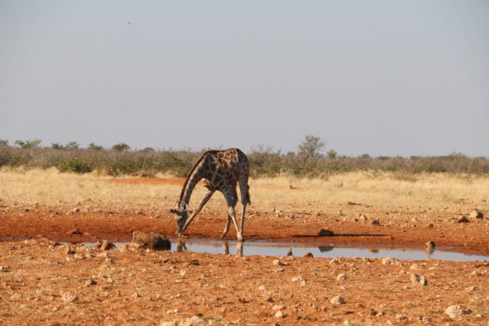 Giraffe am Ratteldraf Wasserloch