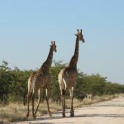 Spazierende Giraffen auf der Straße im westlichen Etosha Nationalpark