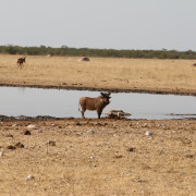 Warzenschwein am Jakkalswater im westlichen Etosha Nationalpark