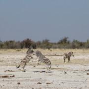 Zebras kämpfen am Klippan Wasserloch