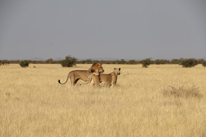 Löwen in der Nähe des Nomab Wasserloch im Etosha Nationalpark
