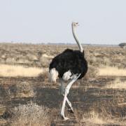Strauß im Etosha Nationalpark