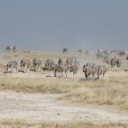 Hunderte von Zebras in der Etosha Salzpfanne