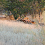 Löwe isst Giraffe im Etosha Nationalpark