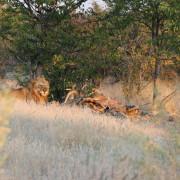 Löwenpärchen mit erlegter Giraffe im Etosha Nationalpark