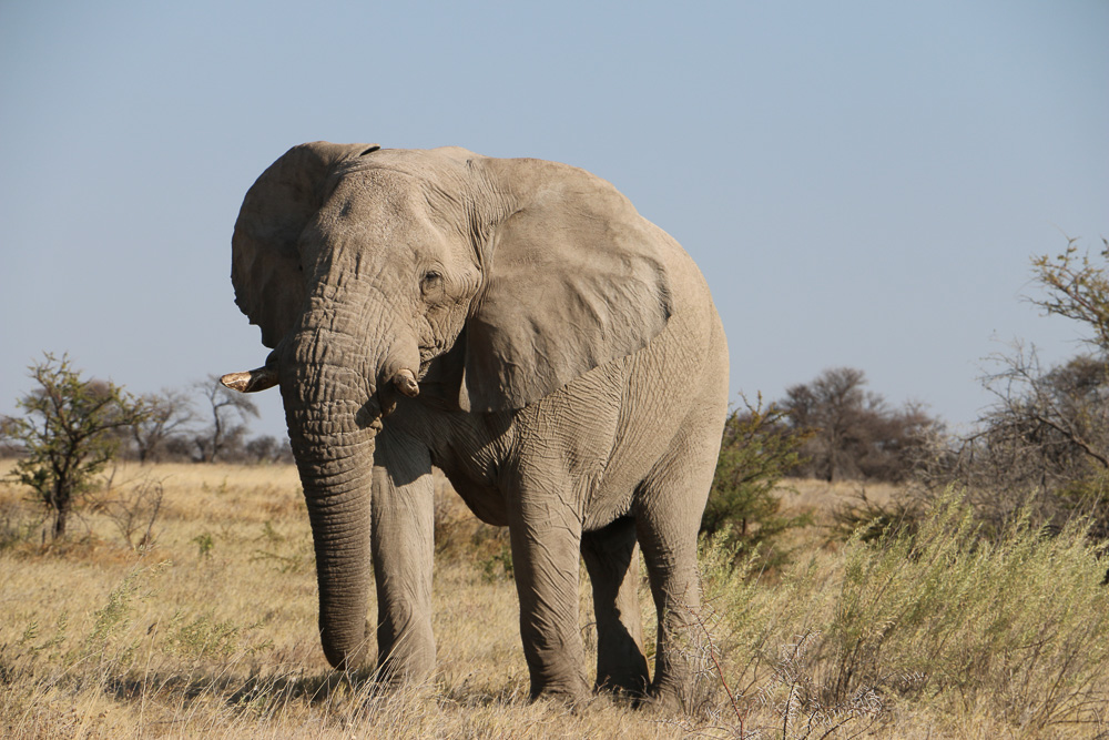 Elefant im Etosha Nationalpark