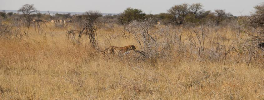Leopard auf Jagd im Etosha Nationalpark