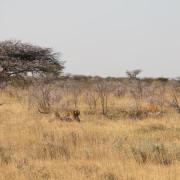 Leopard schleppt Kudu in Sicherheit
