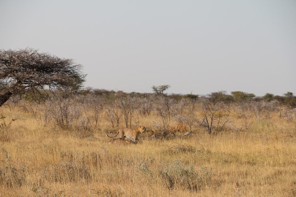 Leopard mit gerissenem Kudu im Etosha Nationalpark