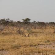 Leopard auf der Pirsch im Etosha Nationalpark