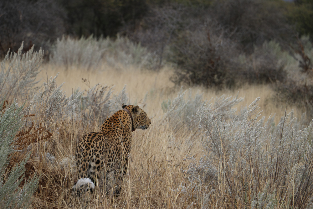 Leopard auf der Okonjima Lodge