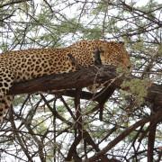 Leopard schläft auf Baum im Reservat der African Foundation