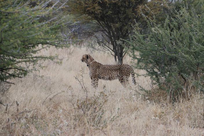 Gepard auf der Okonjima Lodge - Namibia