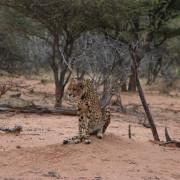 Gepard auf der Okonjima Lodge