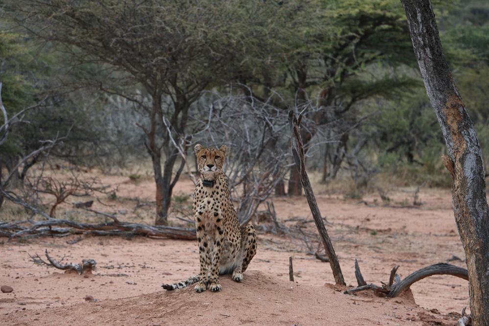 Fest im Blick des Geparden auf Okonjima