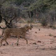 Gepard auf der Flucht