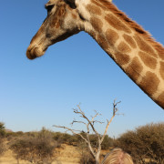 Giraffe als Haustier