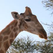 Cuppy - eine von zwei Giraffen des Windhoek Game Camps