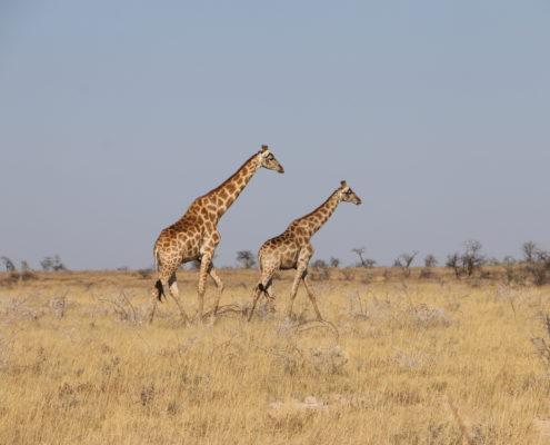 Namibia Roadtrip Giraffen Etosha