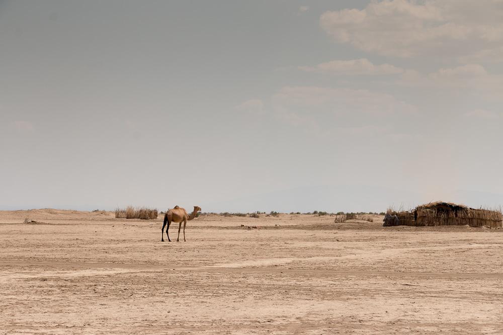 Kamel in der Nähe einer Afar Siedlung