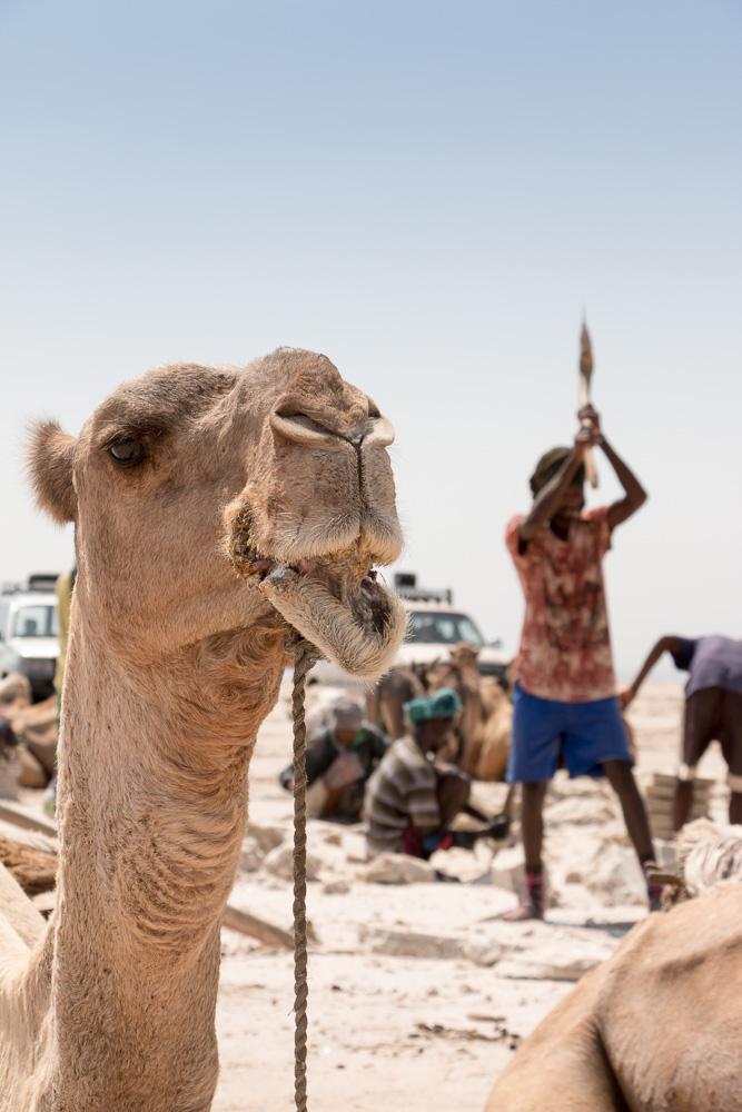Kamel und Arbeiter in der Danakil-Senke