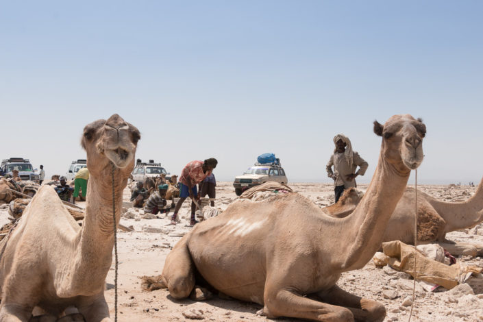 Kamele Danakil-Senke
