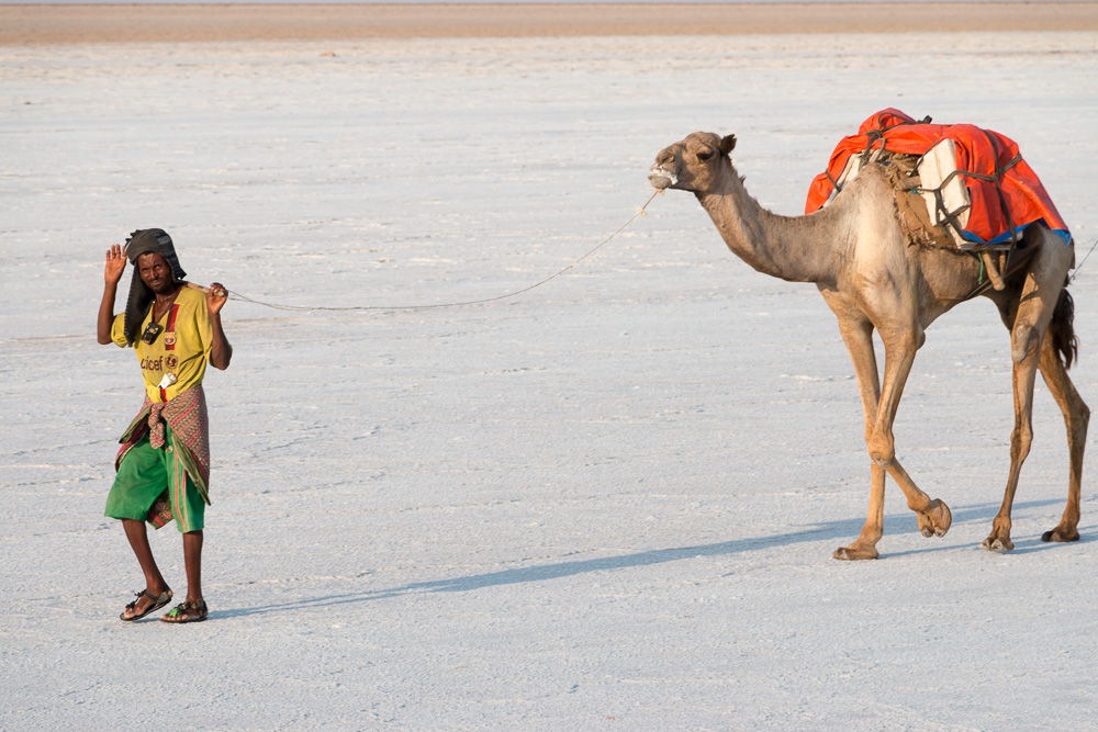 Afar mit Kamel am Ass-Ale Salzsee