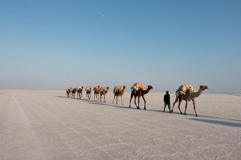 Kamele in der Danakil-Wüste
