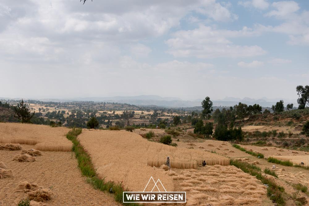Kornfelder in der Tigray