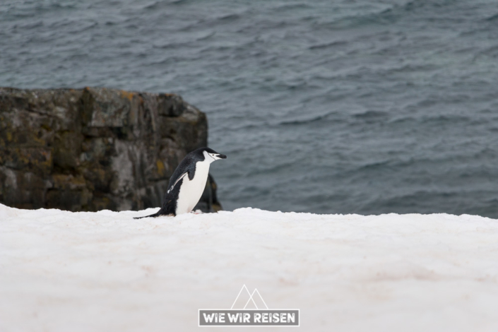 Chinstrap Pinguin