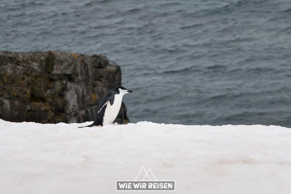 Chinstrap Pinguin