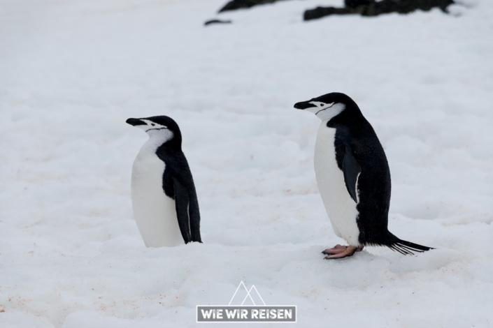 Chinstrap Pinguine auf Halfmoon Island
