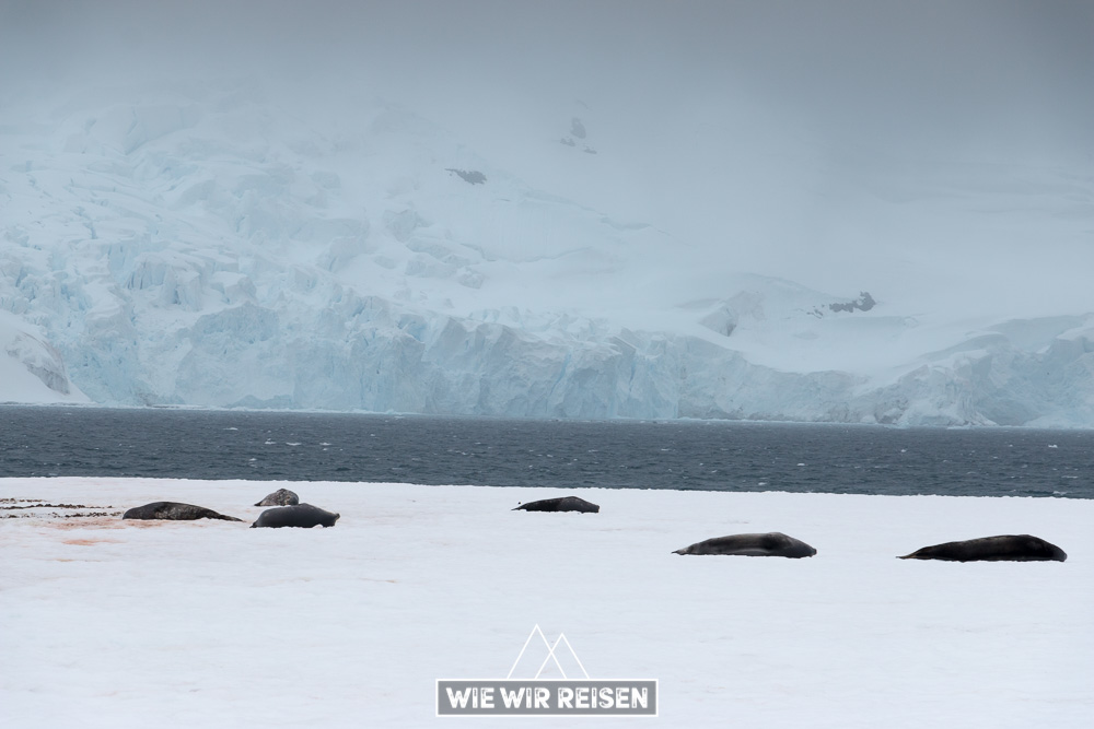 Weddellrobben Südshetlandinseln