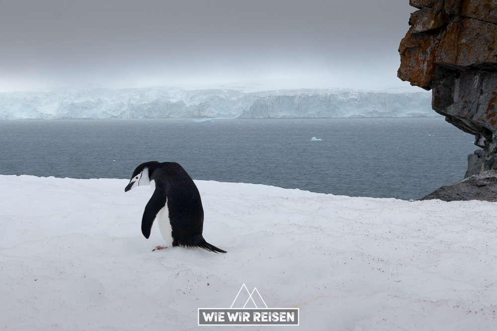 Zügelpinguin Südshetlandinsel