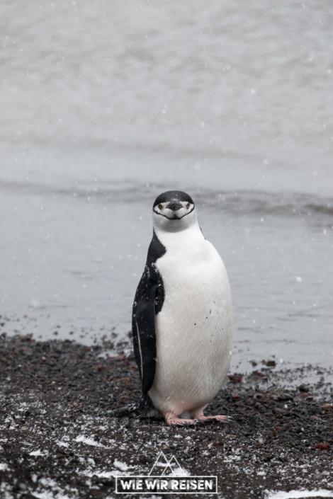 Zügelpinguin Deception Island Antarktis