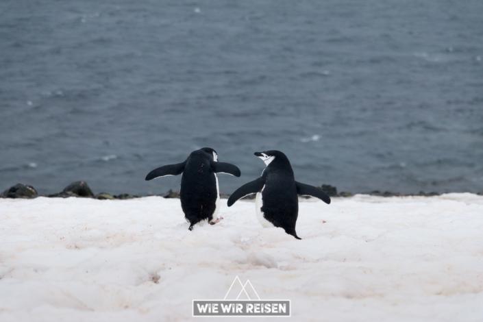 Zwei Chinstrap Pinguine