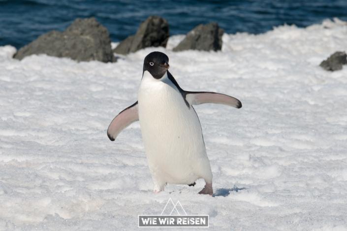 Adelie Pinguin auf der Esperanza Station