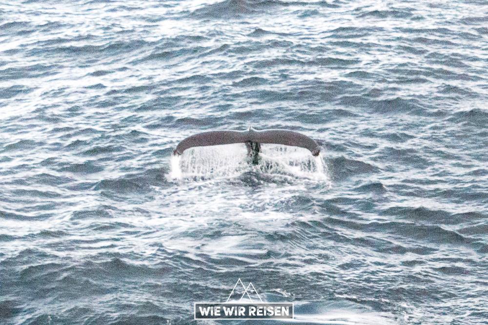 Schwanz eines Buckelwales