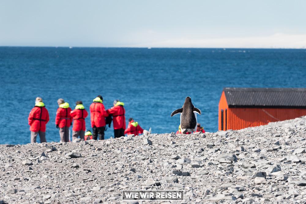 Pinguin auf der Esperanza-Station