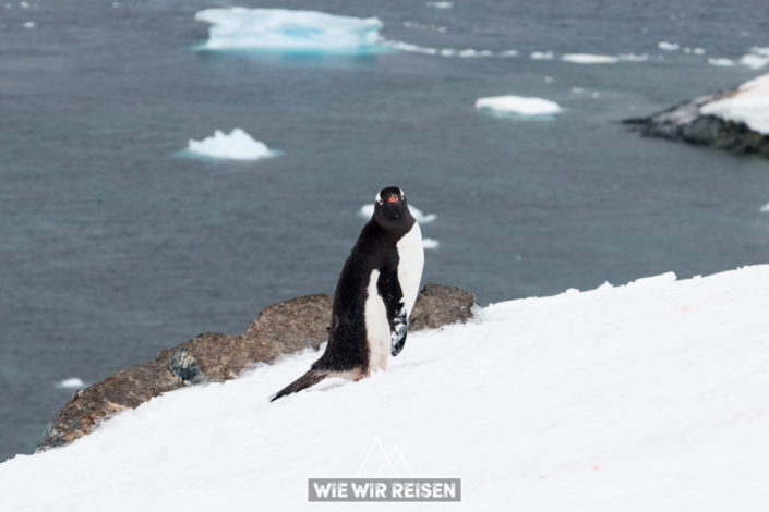 Eselspinguin Cuverville Island