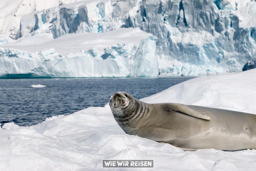 Robbe auf Eisscholle in der Antarktis